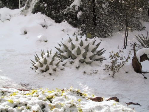 Snow on spikes of agave cactus in Sedona winter scene symbolize winter landscape of the soul, time of reflection.