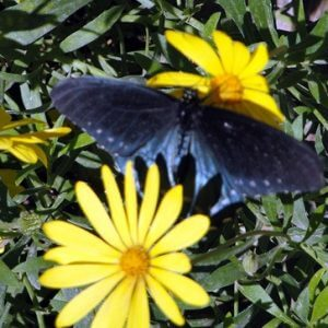 Black butterfly between 2 yellow flowers illustrates exquisite beauty in the butterfly garden