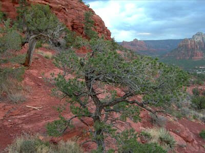 Spirit of the Juniper Tree: article, drawings, images, poems