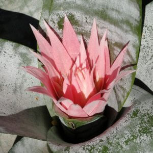Pink spiky cactus flower illustrates spring in the butterfly garden