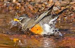 Robin bathing in a red rock puddle by Jackie Klieger illustrates the joy of observing birds.