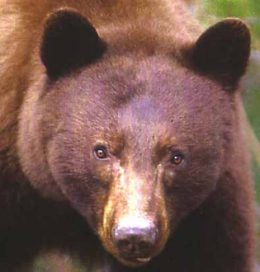 Bear face showing their powerful eyes is a representation of the Spirit of Bear coming in shamanic journey as a spirit helper