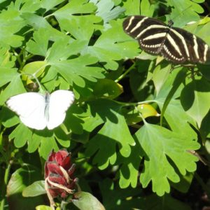 1 white and and 1 zebra striped butterfly resting on green leaves illustrates beauty of butterflies