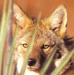 Coyote's face: symbol of the wild Sedona red cliff landscapes. Nature awareness seminar.