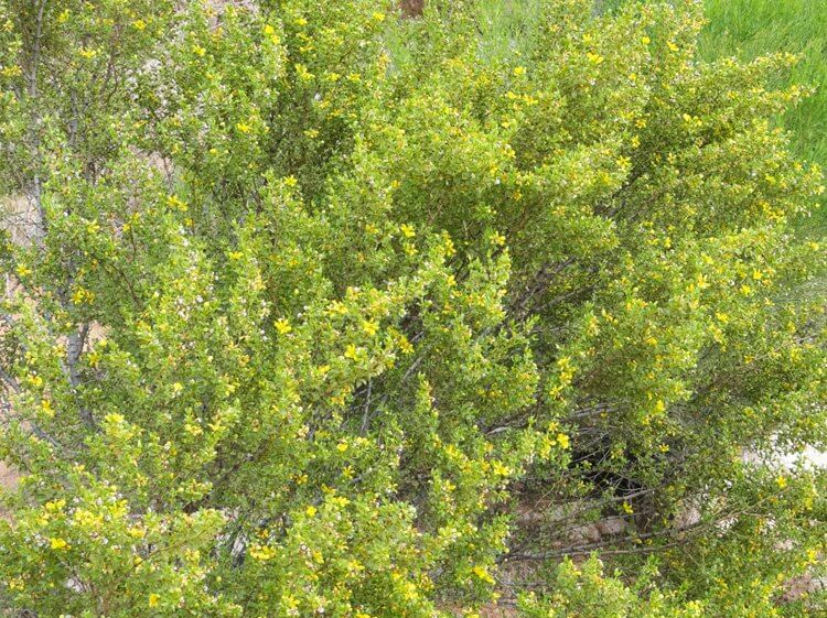 Creosote: Ancient Desert Shrub That Smells Like Rain