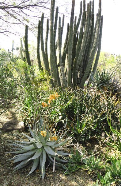 Variety of tall and shorter cactus with yellow flowers illustrates nature connection, desert in winter