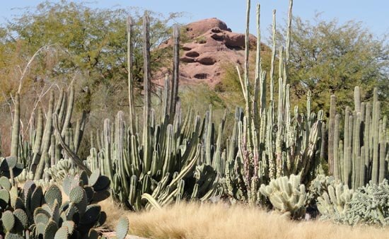 Sonoran desert tall slender branced cacti with red butte in background. Illustrates the call of the desert in winter and nature connection