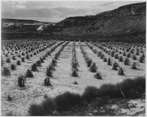 Historic photo of Hopi cornfield that has been cultivated without irrigation in the high desert for many centuries. The Hopi ceremonial cycle of the year centers on prayers for rain.