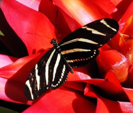 Black and white striped butterfly on a red flower symbolizes medicine animal, totem, power animal allies of our soul workshop in Sedona